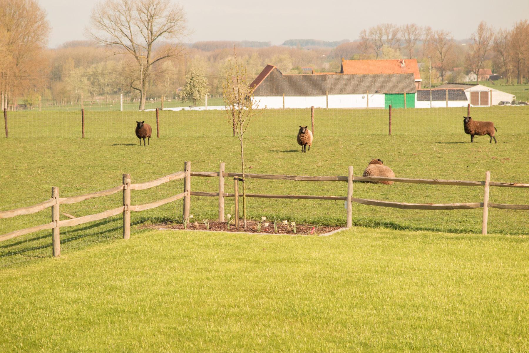 """de """"wilde"""" dieren van Eyndevelde: schapen"""